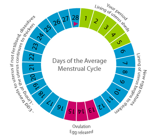 The menstrual cycle, menstrual cycle period days, period cycle days ...
