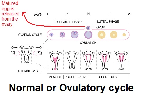 Normal Menstrual cycle, ovulation, Ovulatory cycle
